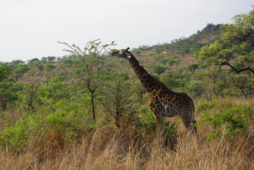 A beautiful giraffe in the Kruger national park South Africa.